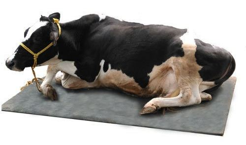 Cow on mat